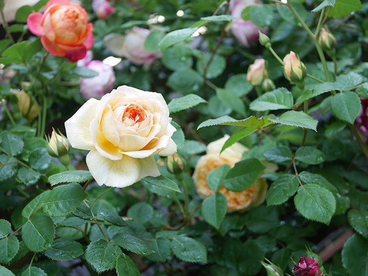 バスシーバ(Bathsheba)の花が増えてきた。ツルバラ。2021年-012.jpg