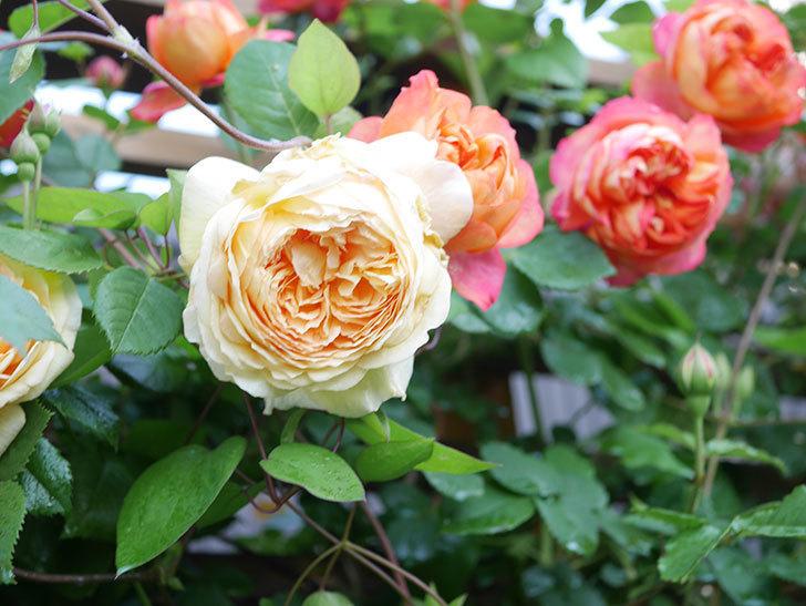 バスシーバ(Bathsheba)の花が増えてきた。ツルバラ。2021年-013.jpg