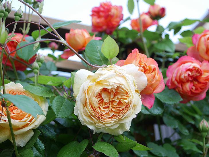 バスシーバ(Bathsheba)の花が増えてきた。ツルバラ。2021年-014.jpg