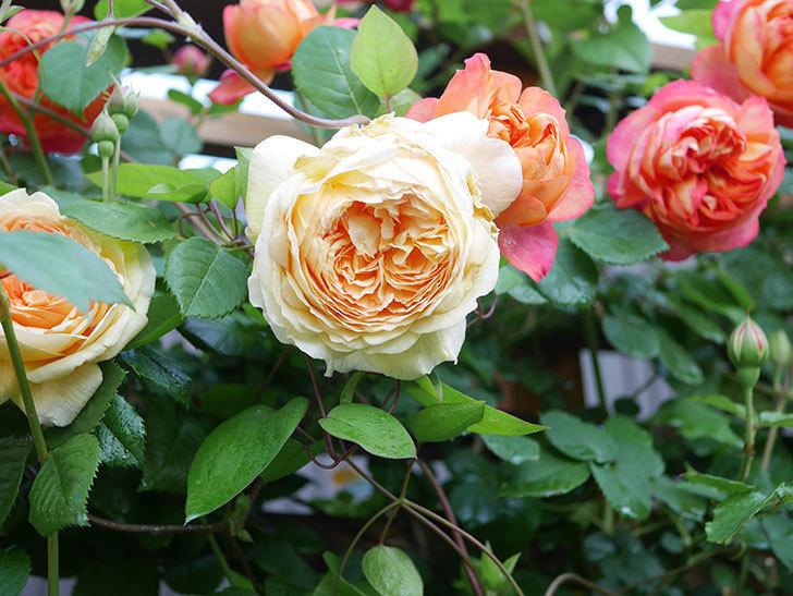 バスシーバ(Bathsheba)の花が増えてきた。ツルバラ。2021年-015.jpg