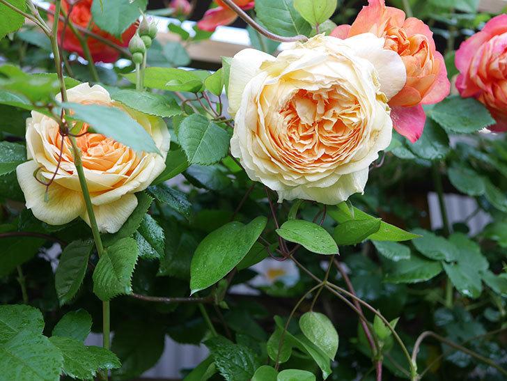 バスシーバ(Bathsheba)の花が増えてきた。ツルバラ。2021年-016.jpg