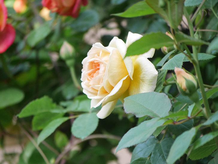 バスシーバ(Bathsheba)の花が増えてきた。ツルバラ。2021年-018.jpg