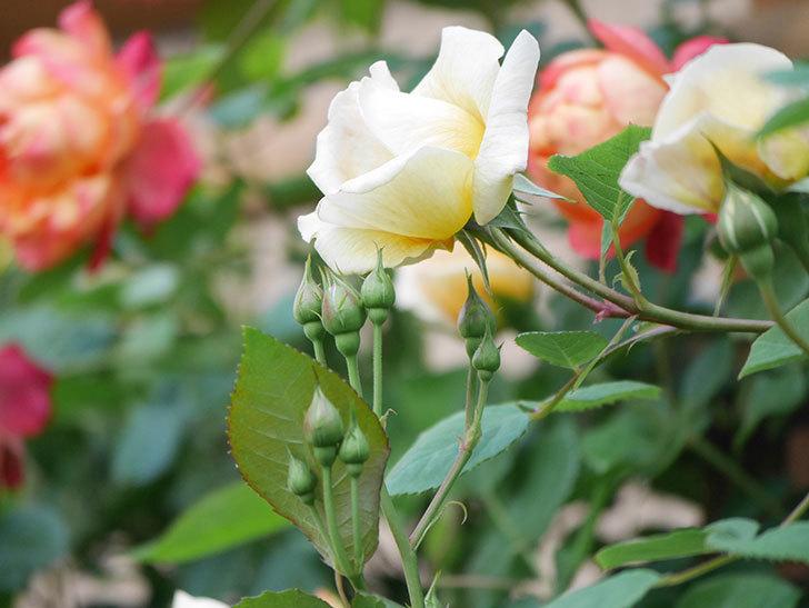 バスシーバ(Bathsheba)の花が増えてきた。ツルバラ。2021年-019.jpg