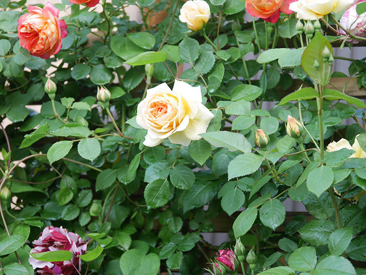 バスシーバ(Bathsheba)の花が増えてきた。ツルバラ。2021年-021.jpg