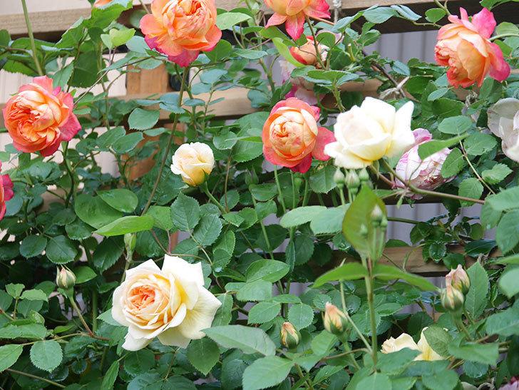 バスシーバ(Bathsheba)の花が増えてきた。ツルバラ。2021年-022.jpg