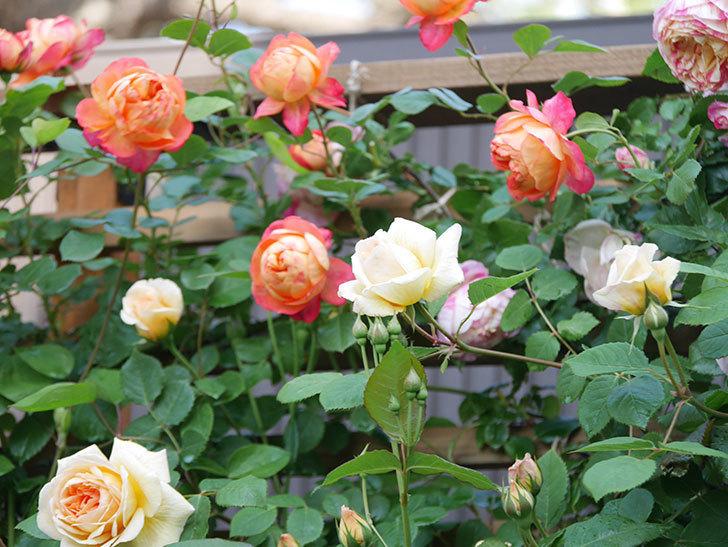 バスシーバ(Bathsheba)の花が増えてきた。ツルバラ。2021年-023.jpg