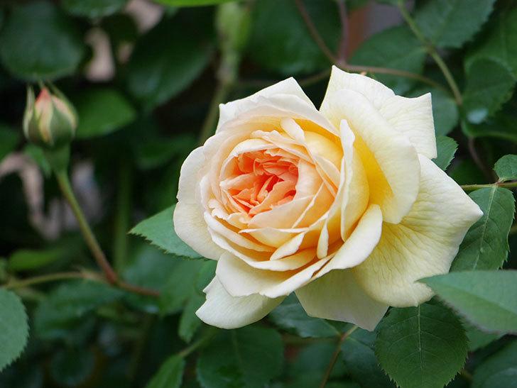 バスシーバ(Bathsheba)の花が増えてきた。ツルバラ。2021年-026.jpg