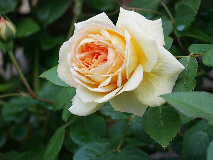 バスシーバ(Bathsheba)の花が増えてきた。ツルバラ。2021年-027.jpg