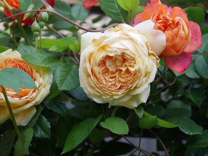 バスシーバ(Bathsheba)の花が増えてきた。ツルバラ。2021年-028.jpg
