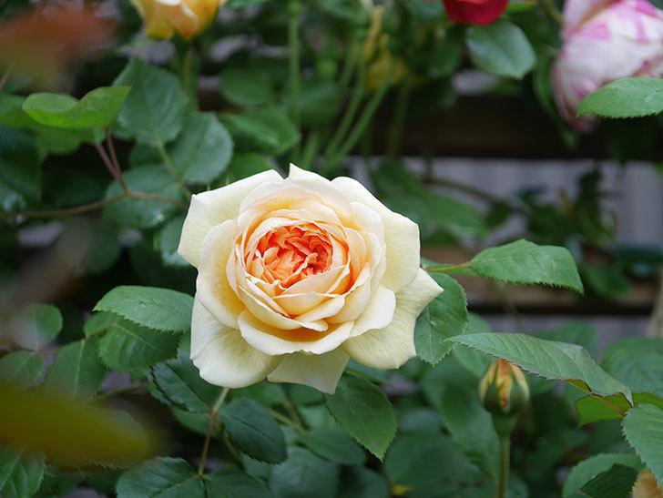 バスシーバ(Bathsheba)の花が増えてきた。ツルバラ。2021年-029.jpg