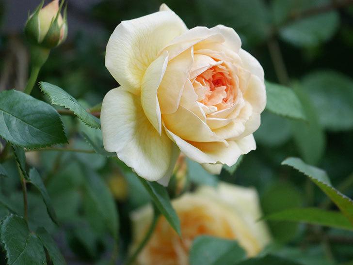 バスシーバ(Bathsheba)の花が増えてきた。ツルバラ。2021年-030.jpg