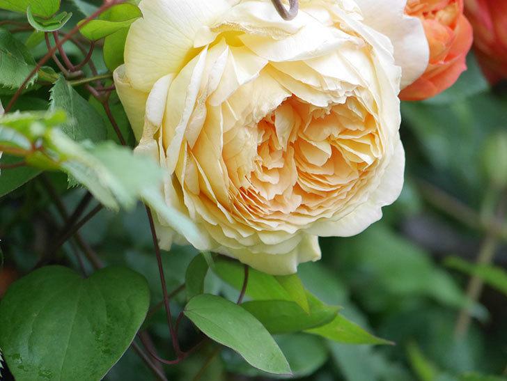 バスシーバ(Bathsheba)の花が増えてきた。ツルバラ。2021年-031.jpg