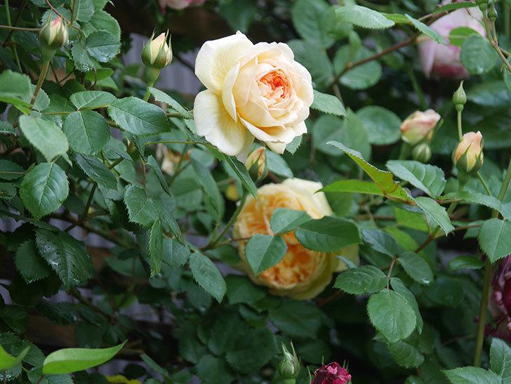 バスシーバ(Bathsheba)の花が増えてきた。ツルバラ。2021年-032.jpg