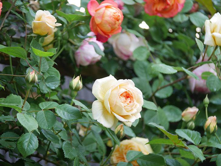 バスシーバ(Bathsheba)の花が増えてきた。ツルバラ。2021年-033.jpg