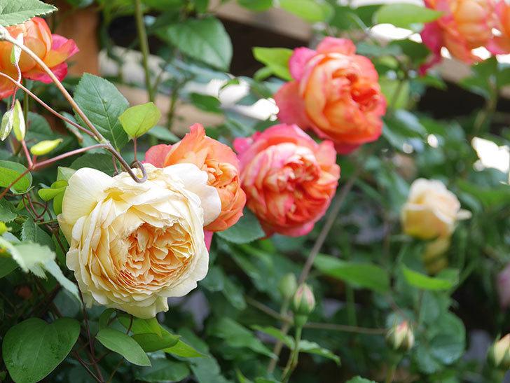 バスシーバ(Bathsheba)の花が増えてきた。ツルバラ。2021年-034.jpg