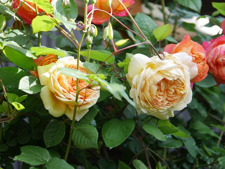 バスシーバ(Bathsheba)の花が増えてきた。ツルバラ。2021年-035.jpg