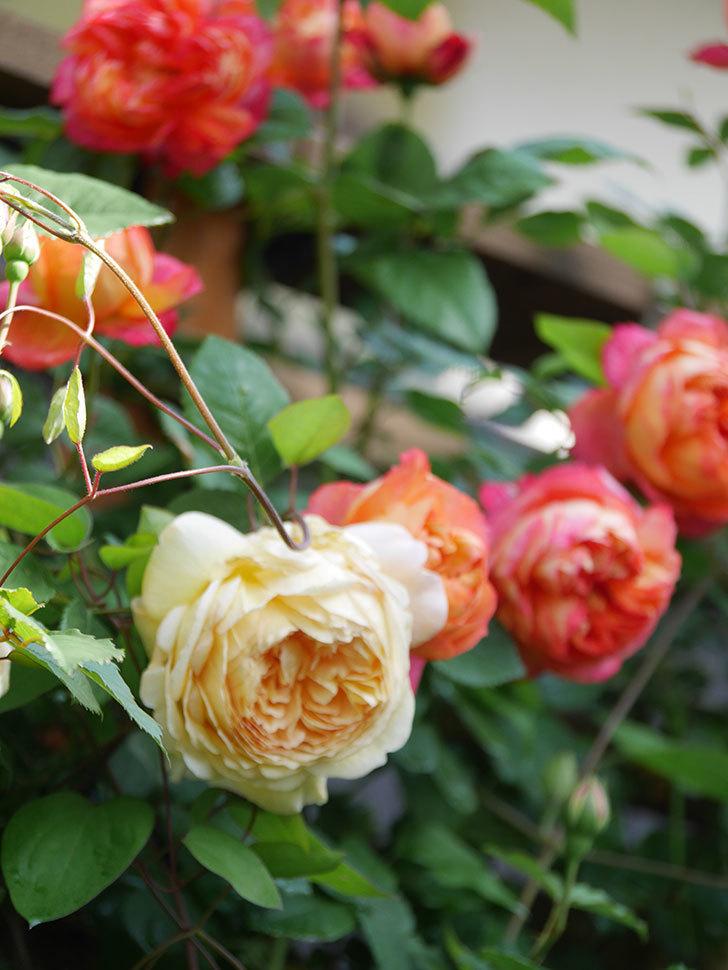 バスシーバ(Bathsheba)の花が増えてきた。ツルバラ。2021年-036.jpg