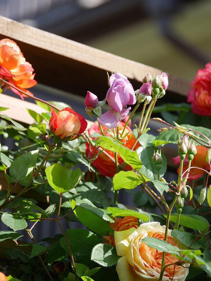 バスシーバ(Bathsheba)の花が増えてきた。ツルバラ。2021年-037.jpg