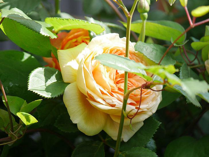 バスシーバ(Bathsheba)の花が増えてきた。ツルバラ。2021年-038.jpg