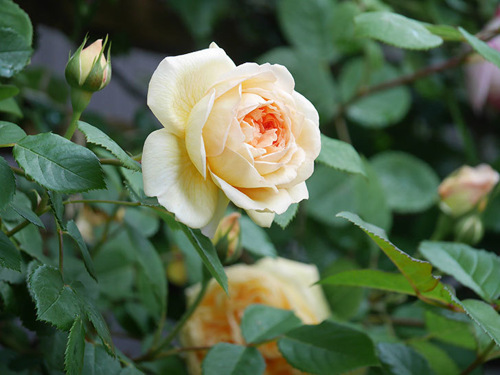 バスシーバ(Bathsheba)の花が増えてきた。ツルバラ。2021年-039.jpg