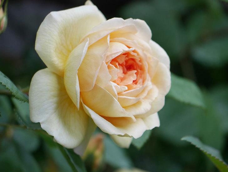 バスシーバ(Bathsheba)の花が増えてきた。ツルバラ。2021年-040.jpg