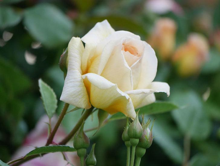 バスシーバ(Bathsheba)の花が増えてきた。ツルバラ。2021年-041.jpg