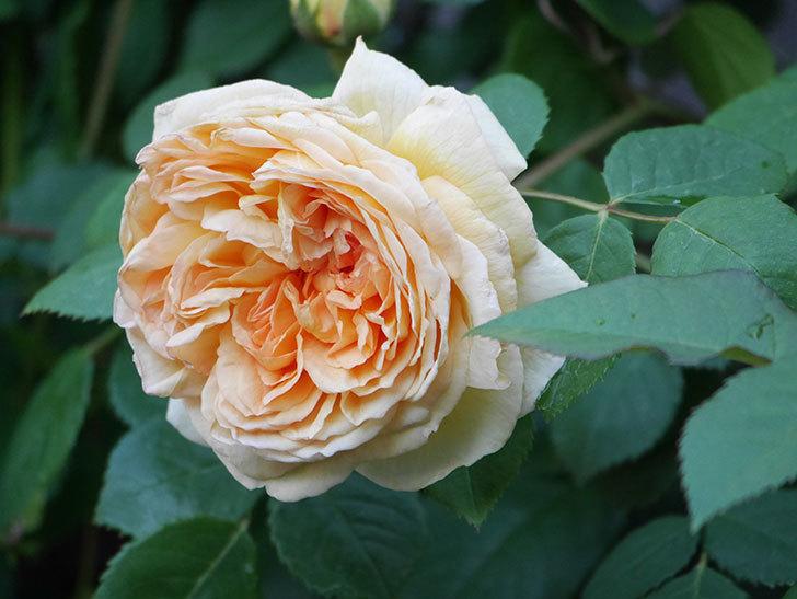 バスシーバ(Bathsheba)の花が増えてきた。ツルバラ。2021年-043.jpg