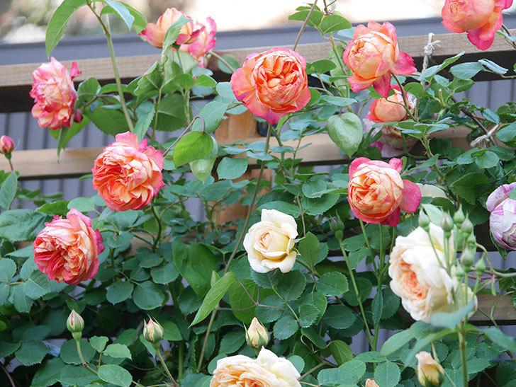 バスシーバ(Bathsheba)の花が増えてきた。ツルバラ。2021年-044.jpg