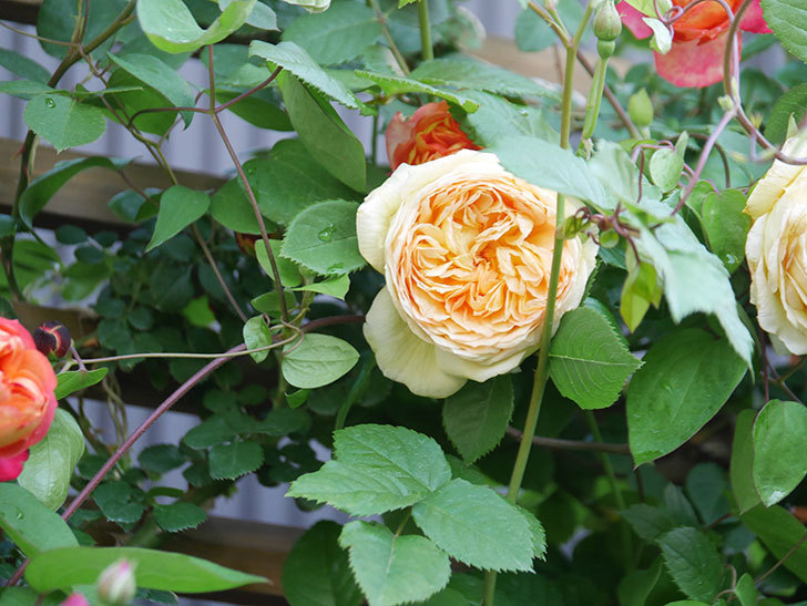 バスシーバ(Bathsheba)の花が増えてきた。ツルバラ。2021年-045.jpg