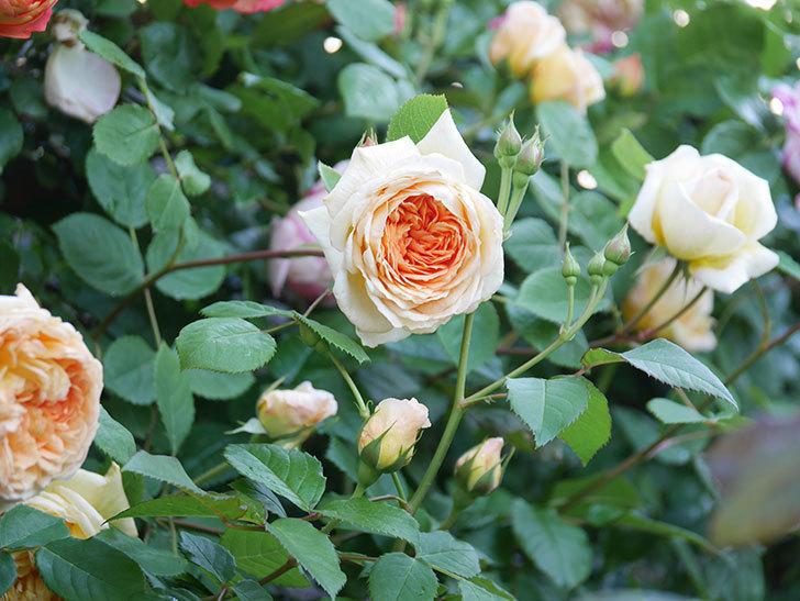 バスシーバ(Bathsheba)の花が増えてきた。ツルバラ。2021年-046.jpg