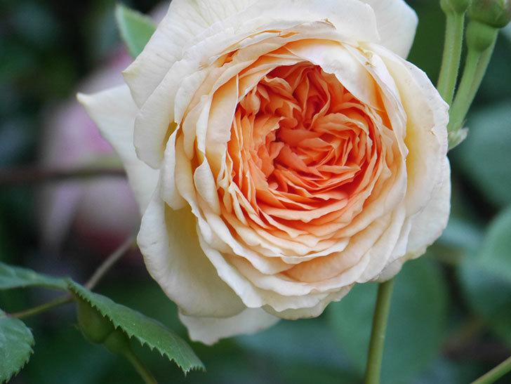バスシーバ(Bathsheba)の花が増えてきた。ツルバラ。2021年-047.jpg