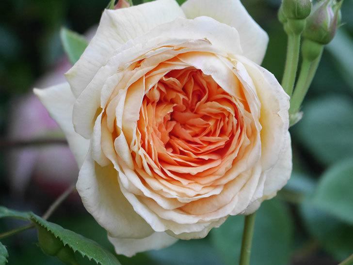 バスシーバ(Bathsheba)の花が増えてきた。ツルバラ。2021年-048.jpg