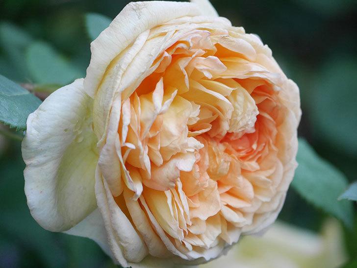 バスシーバ(Bathsheba)の花が増えてきた。ツルバラ。2021年-049.jpg