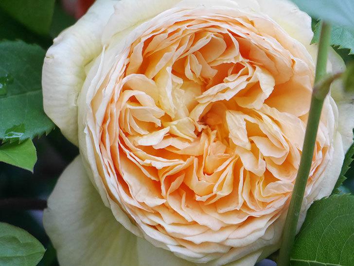 バスシーバ(Bathsheba)の花が増えてきた。ツルバラ。2021年-051.jpg