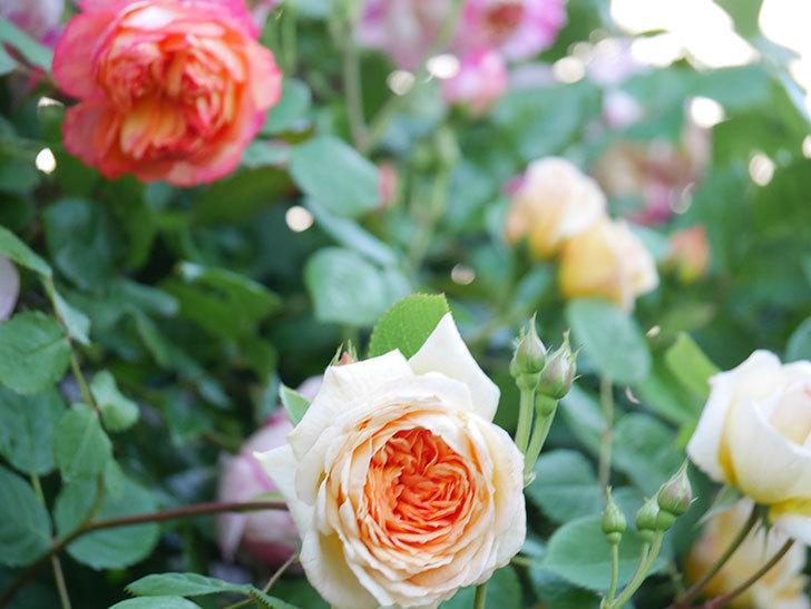 バスシーバ(Bathsheba)の花が増えてきた。ツルバラ。2021年-052.jpg