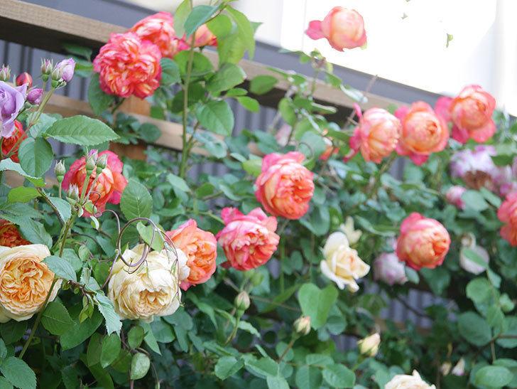 バスシーバ(Bathsheba)の花が増えてきた。ツルバラ。2021年-053.jpg