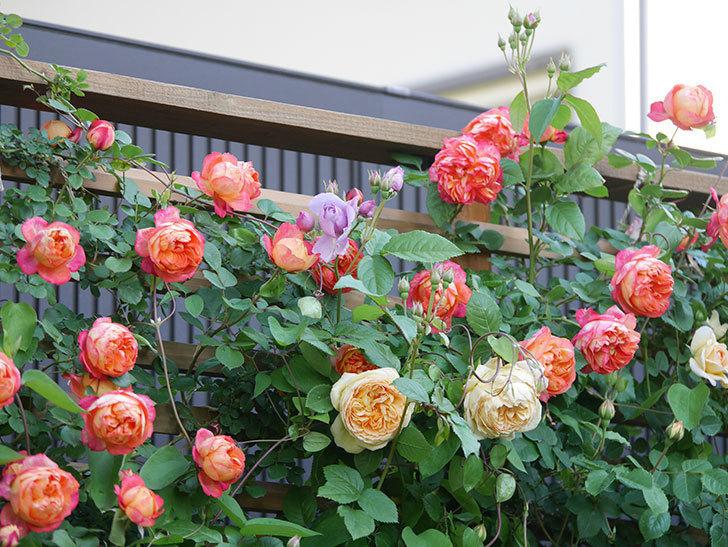バスシーバ(Bathsheba)の花が増えてきた。ツルバラ。2021年-054.jpg