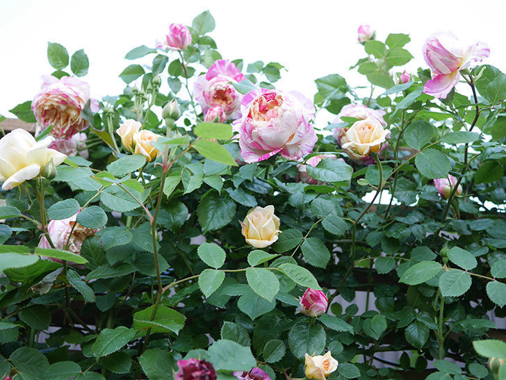 バスシーバ(Bathsheba)の花が増えてきた。ツルバラ。2021年-055.jpg