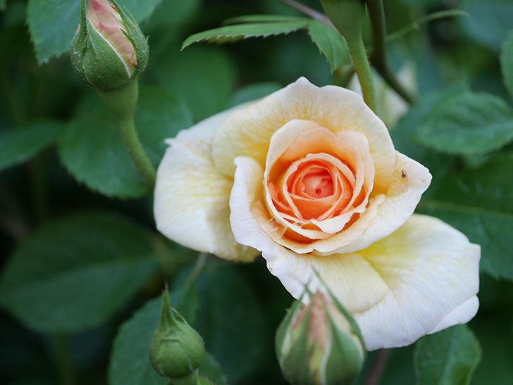 バスシーバ(Bathsheba)の花が増えてきた。ツルバラ。2021年-056.jpg