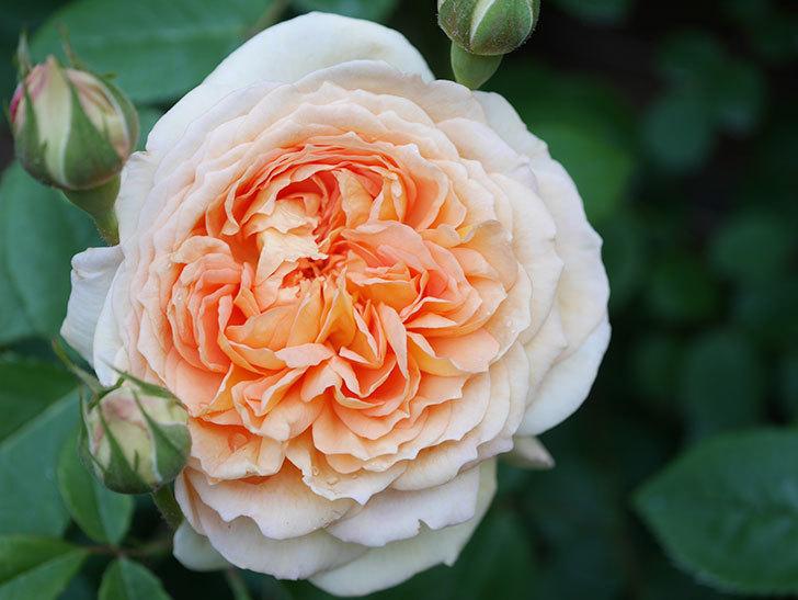 バスシーバ(Bathsheba)の花が増えてきた。ツルバラ。2021年-057.jpg