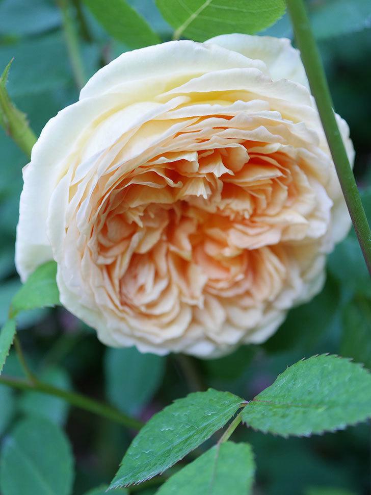 バスシーバ(Bathsheba)の花が増えてきた。ツルバラ。2021年-058.jpg