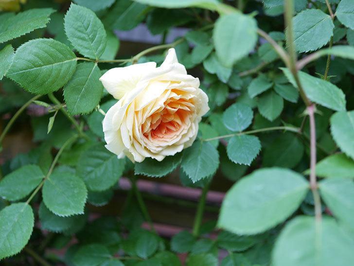 バスシーバ(Bathsheba)の花が増えてきた。ツルバラ。2021年-059.jpg