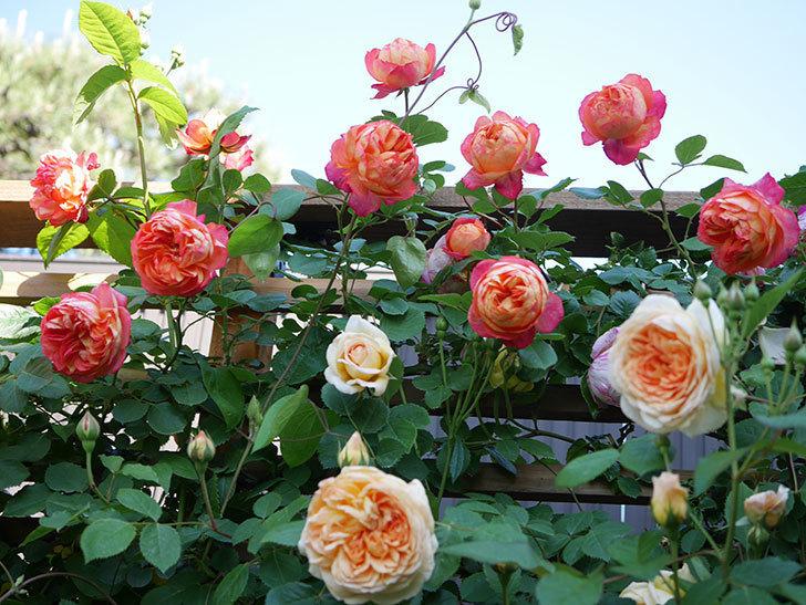 バスシーバ(Bathsheba)の花が増えてきた。ツルバラ。2021年-060.jpg