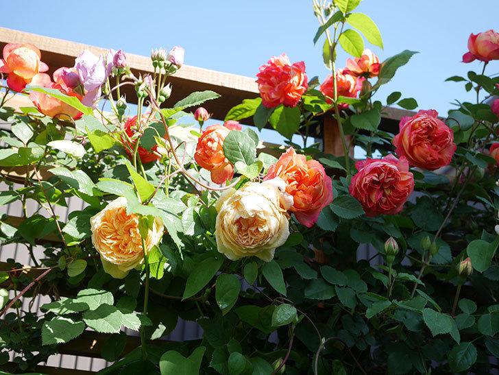 バスシーバ(Bathsheba)の花が増えてきた。ツルバラ。2021年-061.jpg