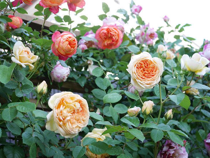 バスシーバ(Bathsheba)の花が増えてきた。ツルバラ。2021年-063.jpg