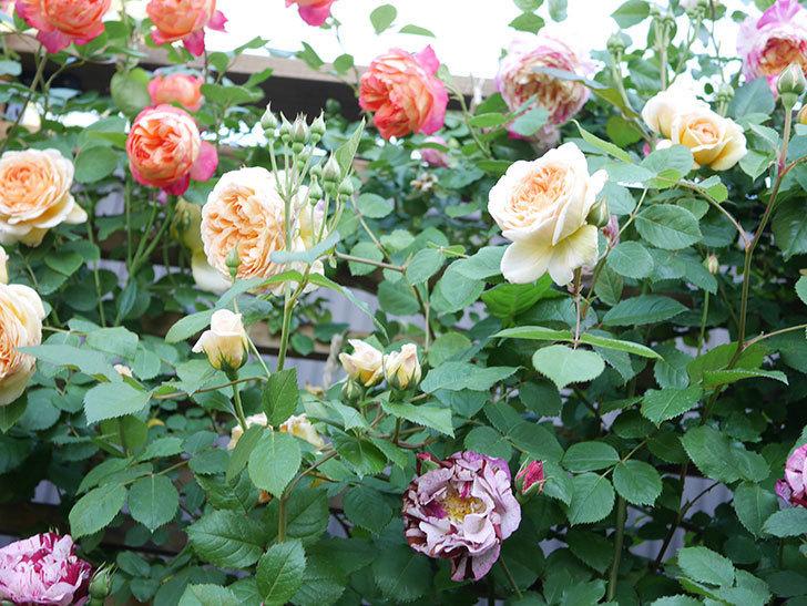 バスシーバ(Bathsheba)の花が増えてきた。ツルバラ。2021年-067.jpg