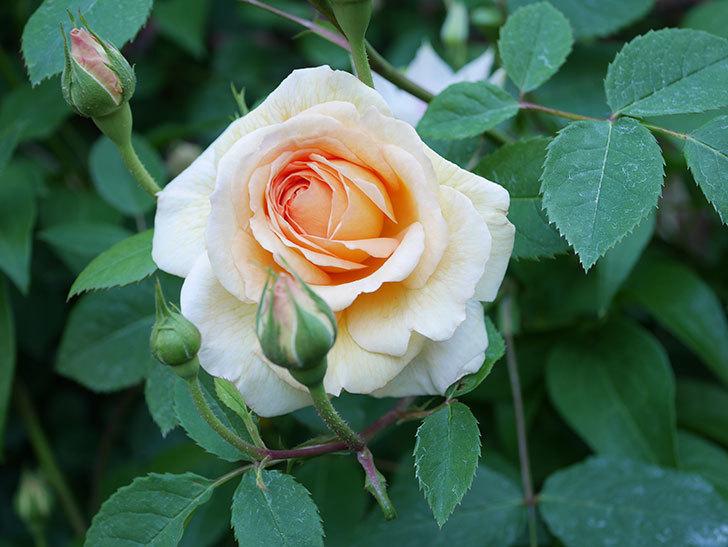 バスシーバ(Bathsheba)の花が増えてきた。ツルバラ。2021年-068.jpg