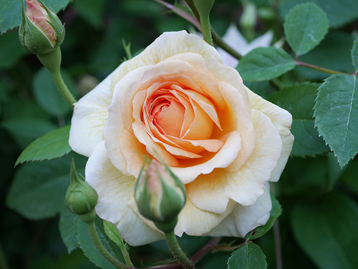 バスシーバ(Bathsheba)の花が増えてきた。ツルバラ。2021年-069.jpg