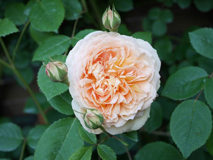 バスシーバ(Bathsheba)の花が増えてきた。ツルバラ。2021年-071.jpg