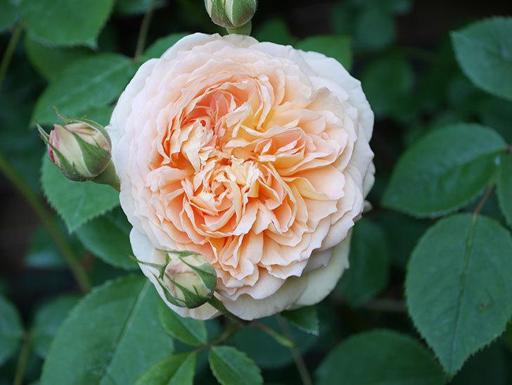 バスシーバ(Bathsheba)の花が増えてきた。ツルバラ。2021年-072.jpg